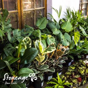 Stoneage-Indoor-plants-2-300x300