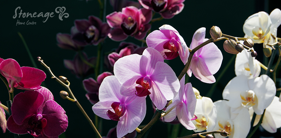 Buy Orchids Durban