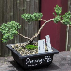 Stoneage-Bonsai-300x300