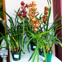 How to Grow Cymbidium Orchids