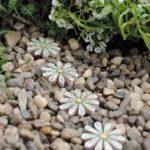 Daisy Stepping Stones (4) - WMDSS