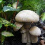 Mushroom Cluster - AMC